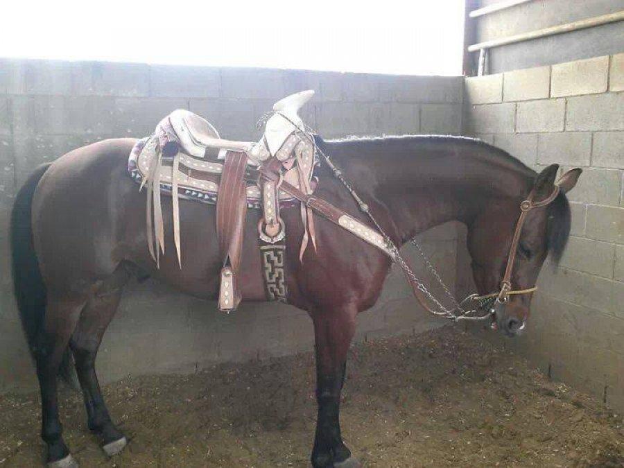 vendo caballo cuarto de milla caballos y yeguas vendo