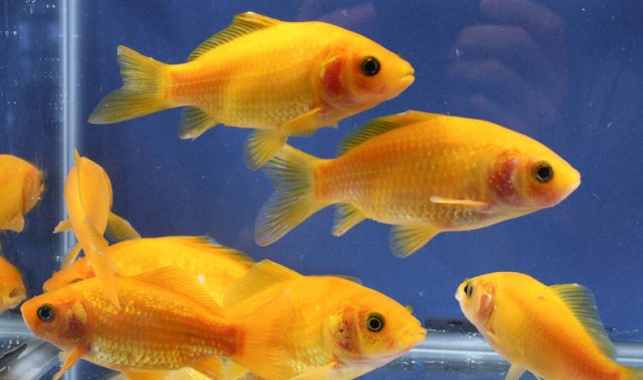 Goldfish for sale chicago 60625 3 deals deal for Outdoor goldfish for sale